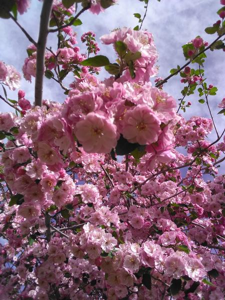 Its Time For Planting Spring Flowering Trees