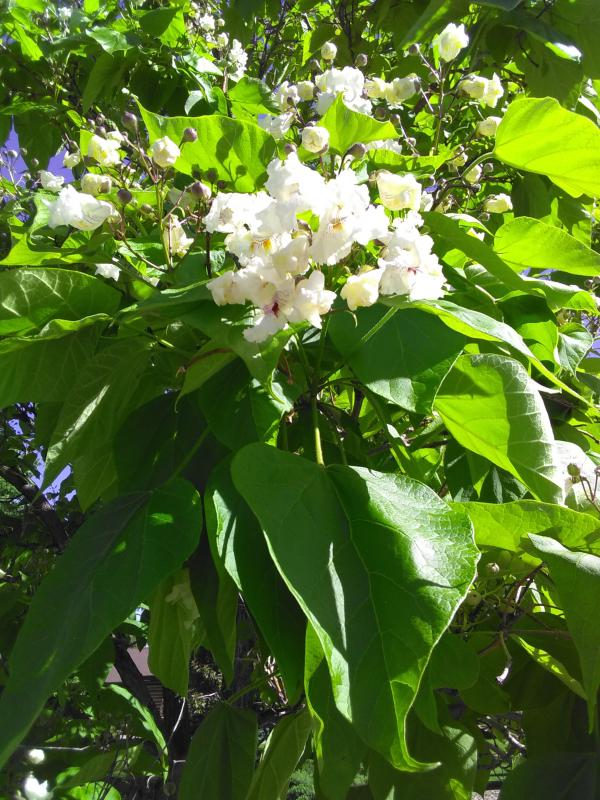 Western catalpa a massive tree with large tropical looking leaves white flowers resemble tiny orchids with purple throats delightful for table arrangements mightylinksfo